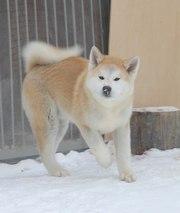 Предлагаем породных щенков Акита Ину